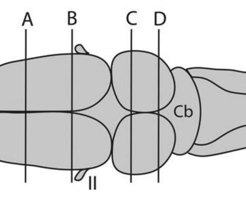 dorsalFrogbrain